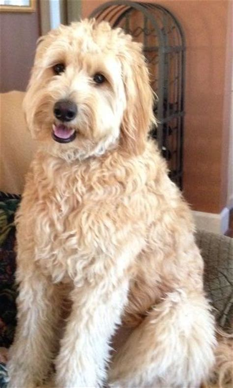 Best 25 Goldendoodle Haircuts Ideas On Pinterest
