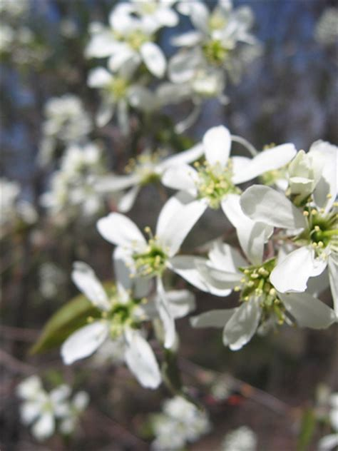 early blooming white flower tree white flowering trees early spring flickr photo sharing