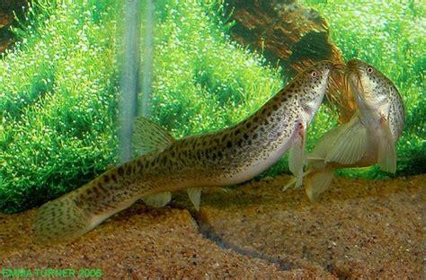 loach fish weather loach misgurnus anguillicaudatus loaches online