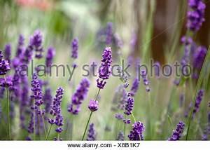 Plant De Lavande : fleurs de lavande banque d 39 images photo stock 49758332 ~ Nature-et-papiers.com Idées de Décoration