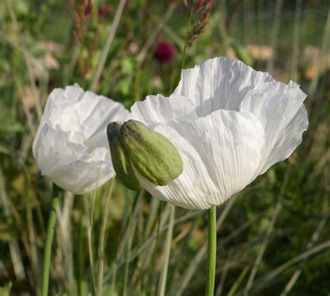 White Poppy by Grimshaw S Garden Diary White Poppies