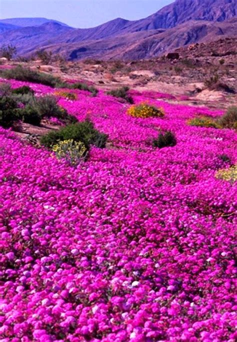desert flowers anza wildflowers anza borrego state park ca scenic countries