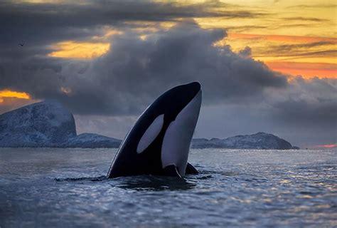 Magnificent Photos of Arctic Whales by Audun Rikardsen ...