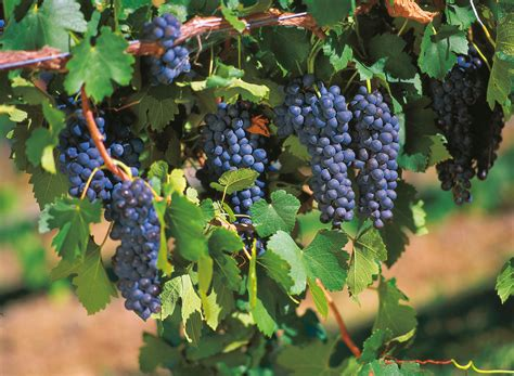 picture of grapes on a vine flourishing wineries of australia s gold coast