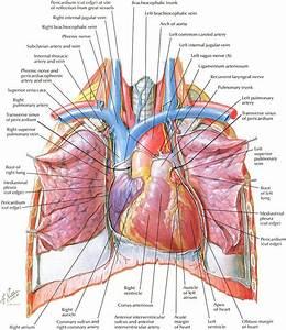 25  Best Ideas About Heart Anatomy On Pinterest