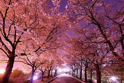 Korea Nature Cherry South Blossoms Wallpapers Wallpaperaccess