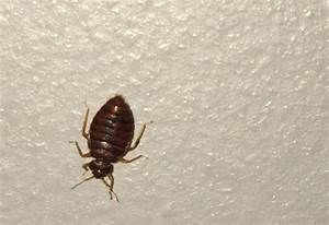 Bed bug in ireland what39s that bug for Bed bugs ireland