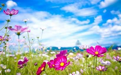 Flowers Flower Nature Cosmos Desktop Backgrounds Wallpapers