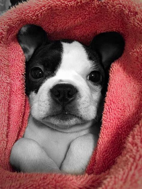 cute boston terrier dogs wrapped  blankets dog fancast