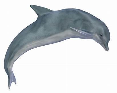 Dolphin Jumping Clip Dolphins Transparent Pngimg Delfin