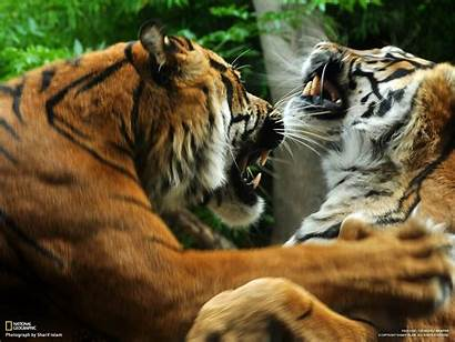 Geographic National Animals Nature Tigers Wallpapers Desktop