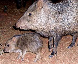 Peccaries on Parade | Can't Stop Writing...