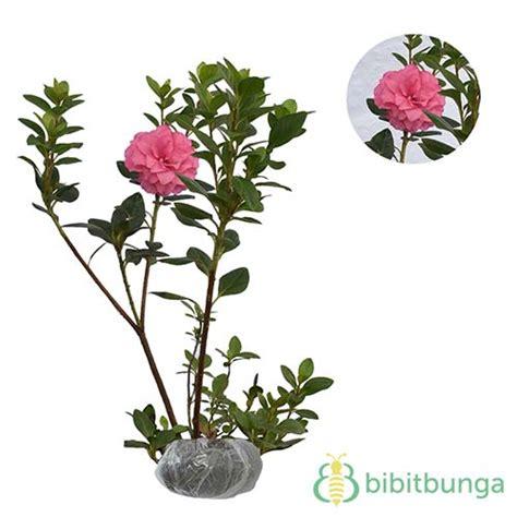 tanaman azalea pink tumpuk bibitbungacom