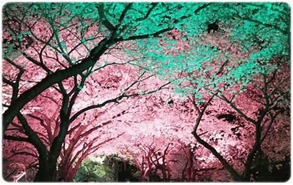 Blossom Cherry Gyeongju Tour Onedaykorea Korea Places