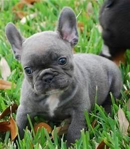 blue french bulldog puppy. WANT! | Bulldog | Pinterest ...