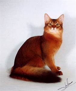 Somali Cat History, Personality, Appearance, Health and ...
