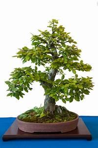 Bonsai Baum Schneiden : carpinus betulus hainbuche als bonsai ~ Frokenaadalensverden.com Haus und Dekorationen