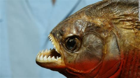 Top 10 Horrifying Facts About Piranhas