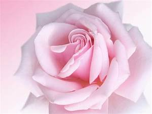 wallpapers: Pink Rose Wallpapers