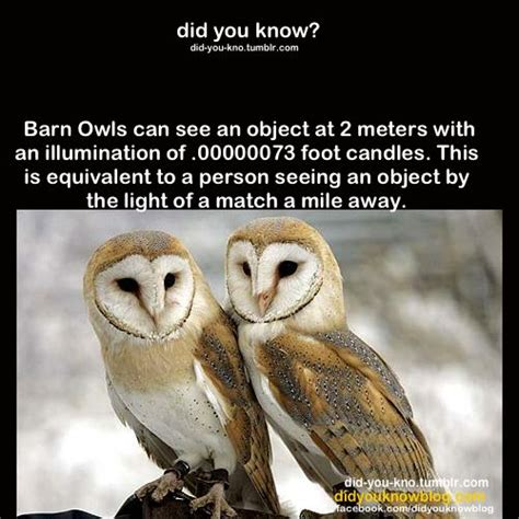 barn owl facts 20 barn owl facts diet computersnews