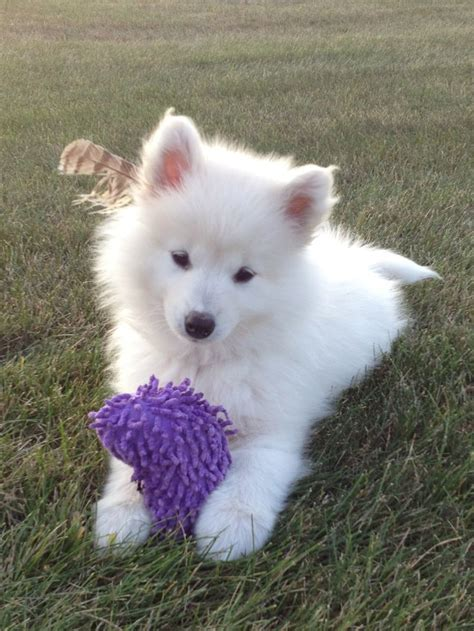 549 Best Samoyed Puppies Images On Pinterest Puppys