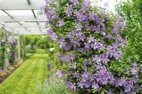 10 Robuste Clematis Sorten Schöne Kletterpflanzen Für Garten