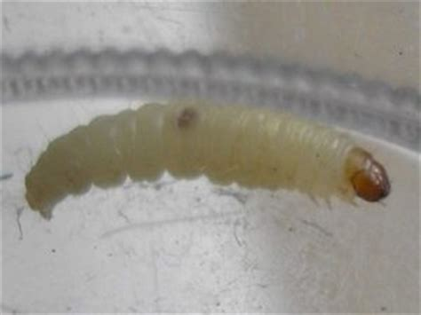 pantry moth larvae worm like creatures on ceiling are likely carpet beetle
