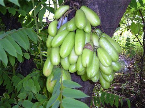 my garden belimbing wuluh kamias