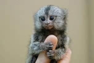 Finger Monkey