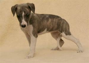 8 Stunning KC Registered Whippet Puppies For Sale | Goole ...