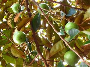 Star Apple Tree - Chrysophyllum cainito