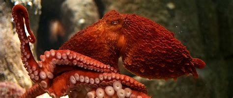 Giant Pacific Octopus At The Monterey Bay Aquarium