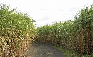Sugar cane: prevent soil compaction and improve yield