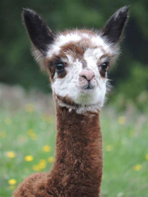 mayfield alpacas animal park animal park sheffield