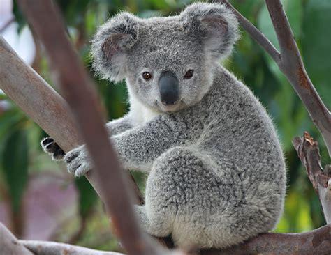koala angie bell flickr