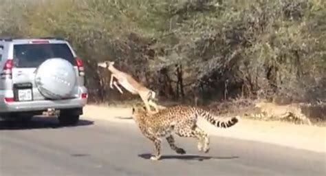 Impala Eludes Two Hungry Cheetahs By Jumping Into Car Full