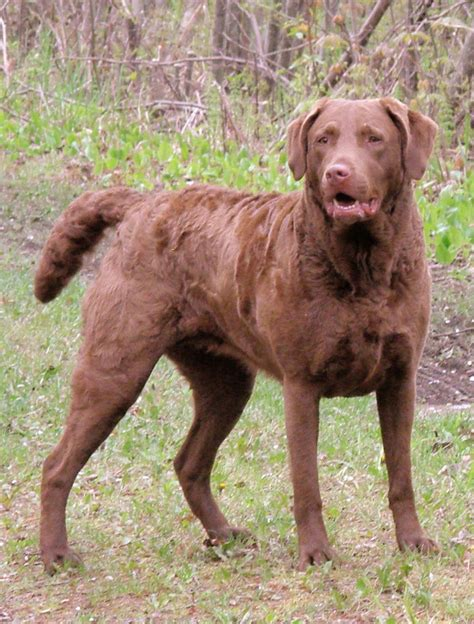 chesapeake bay retriever shed chesapeake bay retriever all big breeds