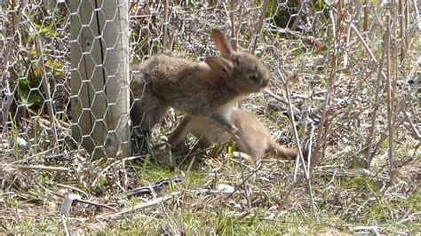 persistent stoat trying to pull a rabbit through a wire fence not suitable for children youtube