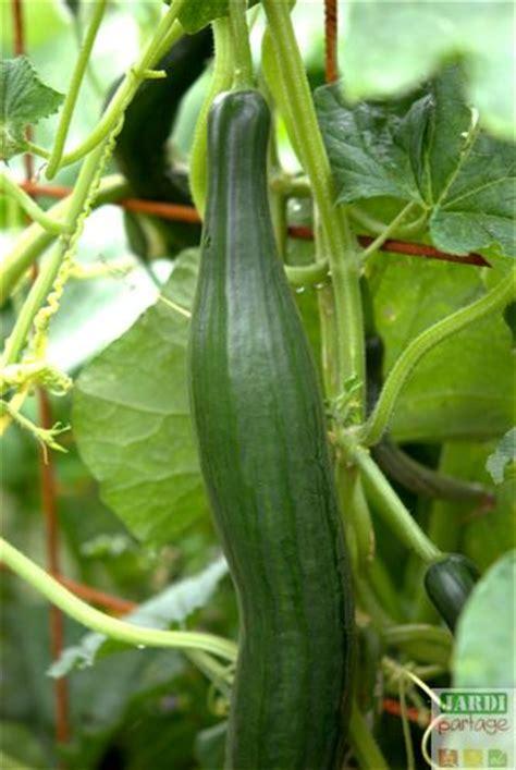 culture du concombre du semis 224 la r 233 colte jardipartage