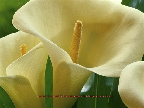 calla flower beautiful wallpapers calla lily flowers wallpaper
