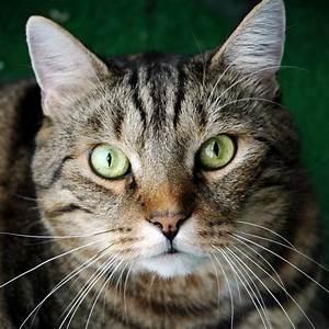 ♥CCG♥ 165 TIGER CAT | my love of cats | Pinterest | Tigers ...