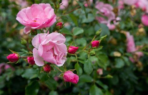 Majestātiskās rozes un to kopšanas noslēpumi   Roz, Garden, Plants