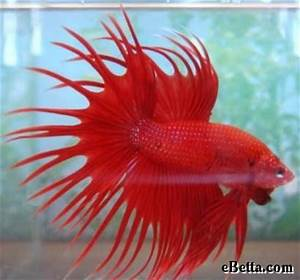 Pin by Bruce Keahi on How to Take Care of a Betta Fish ...