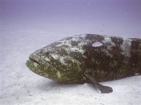 goliath grouper noaa fisheries status southeast monitoring scientists recovery science center