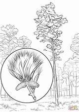Pine Coloring Tree Loblolly Arkansas State Drawing Longleaf Printable Trees Eastern Leaves Getdrawings Pinon Supercoloring Categories sketch template