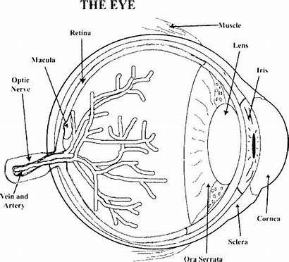 Anatomy Coloring Eye Physiology Pages Human Printable