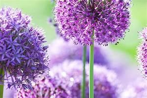 Allium Pflanzen Im Frühjahr : zierlauch wunderkugeln f rs staudenbeet gartenzauber ~ Yasmunasinghe.com Haus und Dekorationen