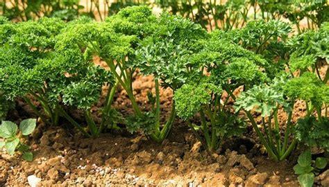 Petersilie Pflanzen Im Garten Und Auf Dem Balkon