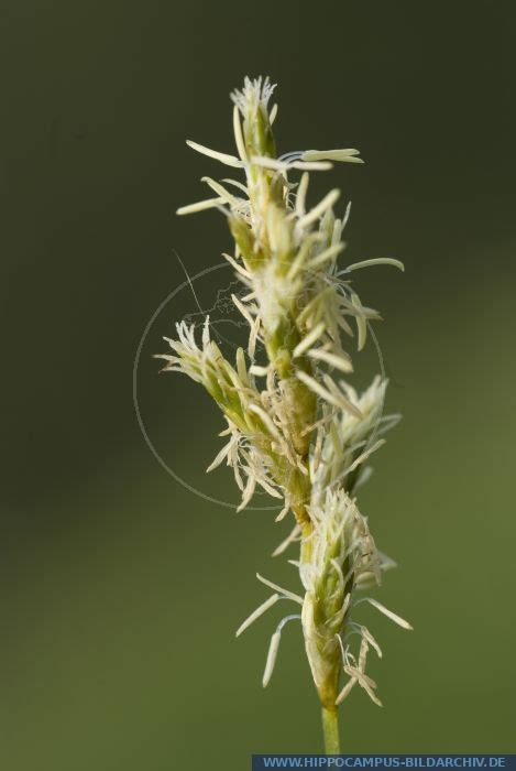 carex brizoides alias alpine grass hippocampus bildarchiv