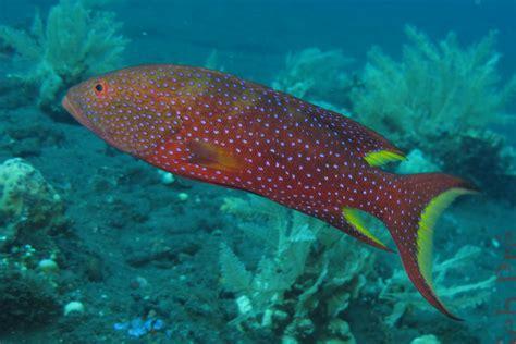 grouper yellow edged lyretail gran ke